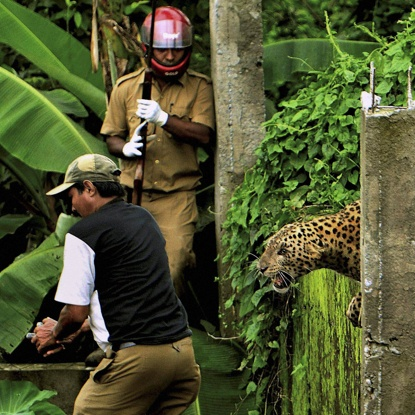 The leopard prepares to attack a forest guard, left, at Prakash Nagar village near Salugara, on the outskirts of Siliguri, India.