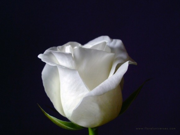 white-rose-wallpapers_13552_1024x768